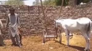 জুয়া 'খেলার' অপরাধে পাকিস্তানে গাধা গ্রেফতার!